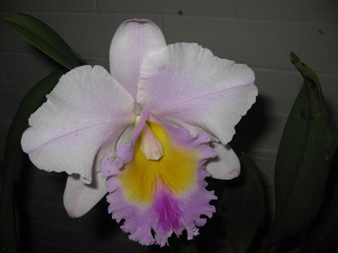 Rlc. California Girl ' Orchid Library' x Rlc. Deception Bay 'Southern Cross'